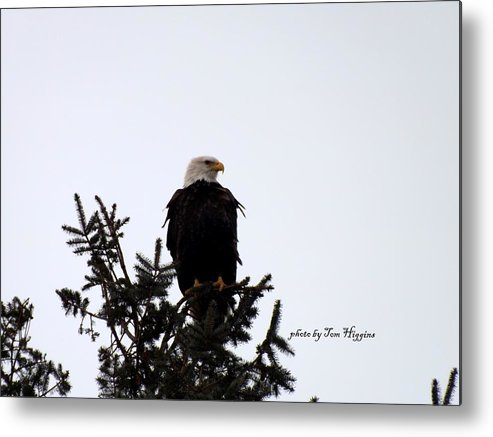 Bald Eagle Top Of Tree Metal Print featuring the photograph Bald Eagle by Thomas Higgins