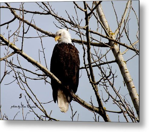 Bald Eagle In Tree Metal Print featuring the photograph Bald Eagle by Thomas Higgins
