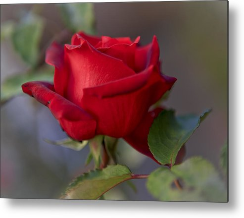 A Single Red Rose Metal Print featuring the photograph A Single Red Rose by Her Arts Desire