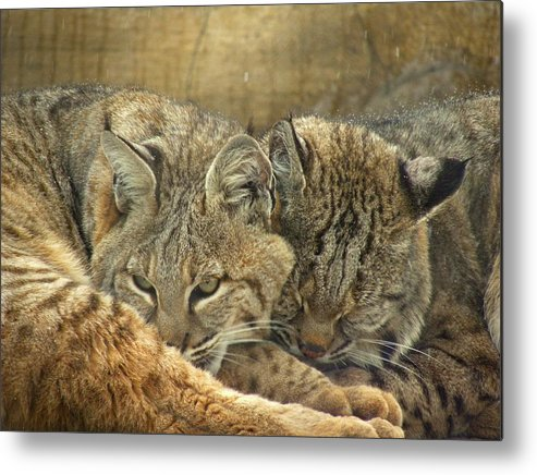 Bobcats Metal Print featuring the photograph Always Watching by Teresa Schomig