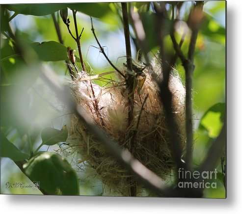 American Goldfinch Metal Print featuring the photograph American Goldfinch Nest Under Construction by J McCombie