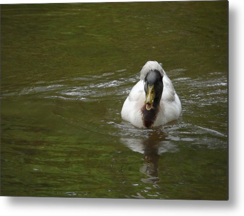 Crested Duck Metal Print featuring the photograph Angry Crested Duck by James Potts