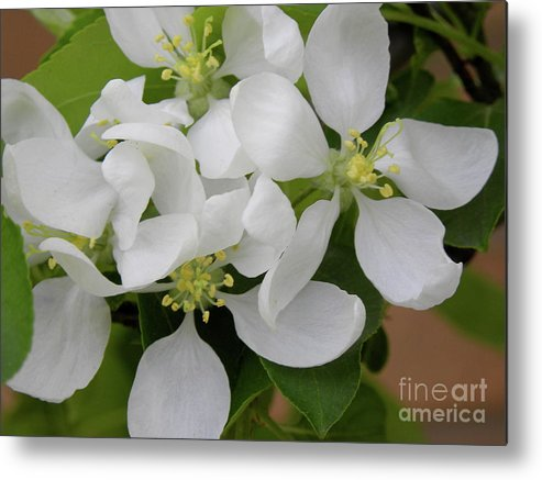 Apple Blossom Metal Print featuring the photograph Apple Blossoms by Laura Yamada