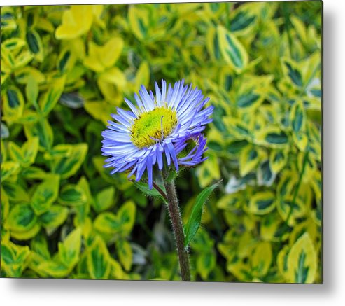 Aster Metal Print featuring the photograph Aster Daisy by MTBobbins Photography