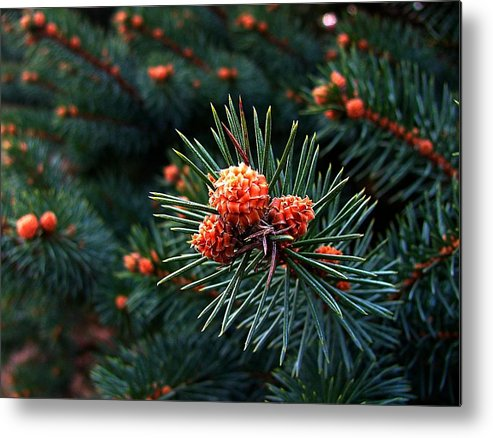 Pine Cones Metal Print featuring the photograph Baby Pinecones by Julie Dant