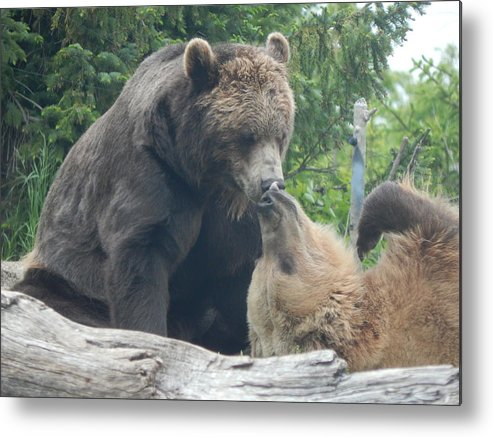 Minnesota Zoo Metal Print featuring the photograph Bear Kisses by Laura Elder