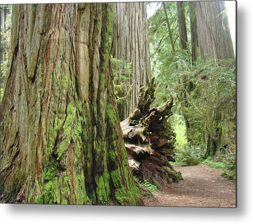 Redwood Metal Print featuring the photograph Big California Redwood Tree Forest Art Prints by Baslee Troutman