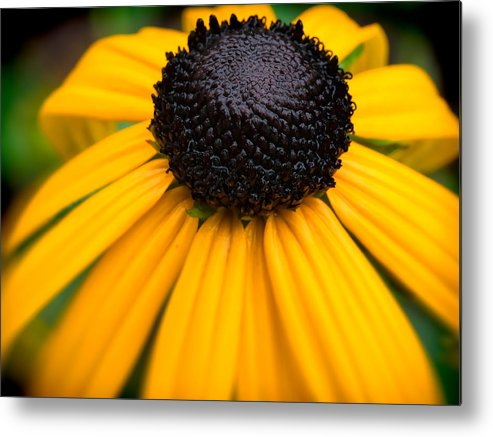 Flower Metal Print featuring the photograph Blackeyed Susan by David Kay