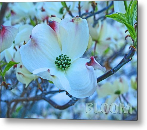Flower Metal Print featuring the photograph Bloom White Dogwood by Debra Schwab