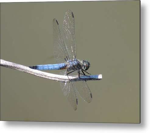 Dragonfly Metal Print featuring the photograph Blue Dragonfly by Lucy Howard