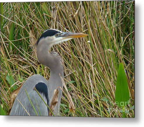 Nature Metal Print featuring the photograph Blue Heron by Eva Kato
