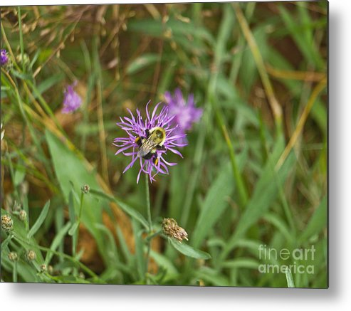 America Metal Print featuring the photograph Bumblebee On Flower by Howard Stapleton