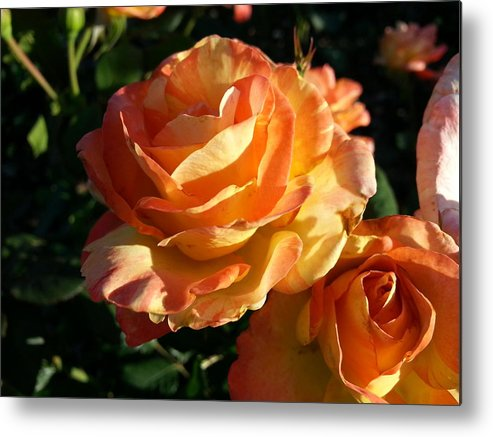 Orange Metal Print featuring the photograph Burnt Rose by Caryl J Bohn