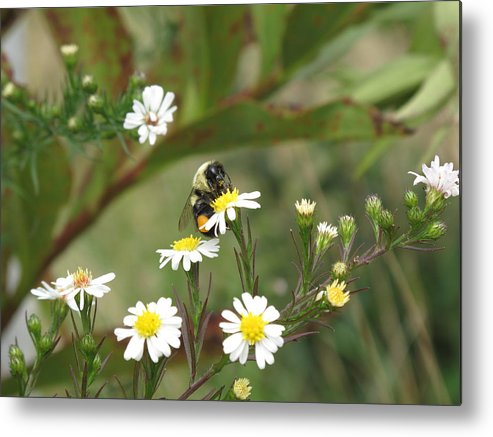 Bee Metal Print featuring the photograph Busy Bee by Barbara McDevitt