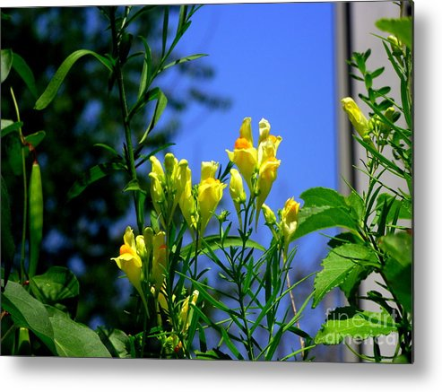 Butter And Egg Flower Metal Print featuring the photograph Butter And Egg Wildflower by CapeScapes Fine Art Photography