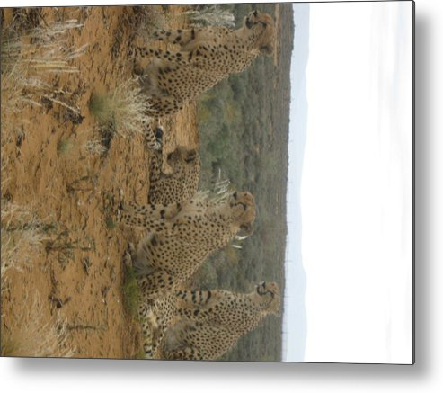 Leopard Metal Print featuring the photograph Cheetah Chatter by Faisal Amjad