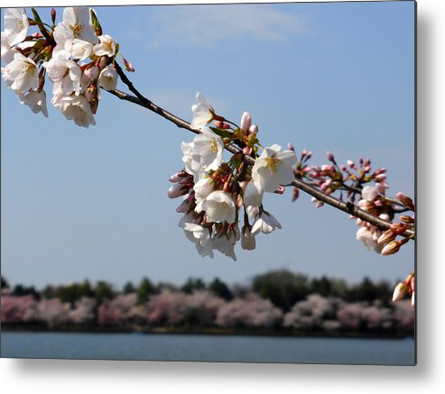 Cherry Metal Print featuring the photograph Cherry Blossom Dc by Richard Stout