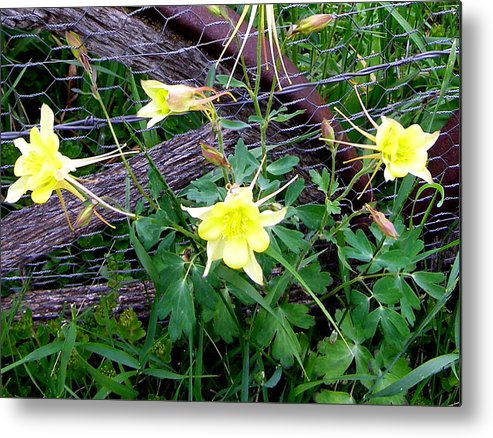 Metal Print featuring the photograph Columbine by Heather Farr