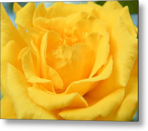 Rose Metal Print featuring the photograph Crying Yellow Rose by Matthew Kay