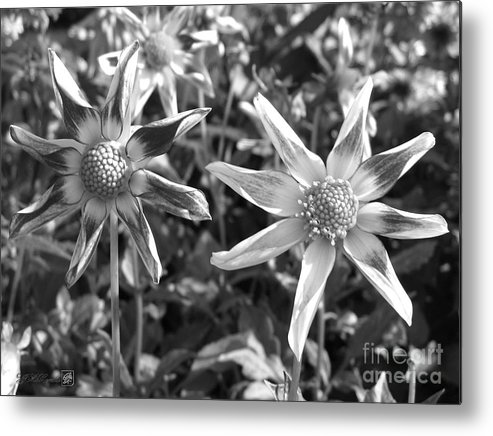 Dahlia Metal Print featuring the photograph Dahlia Named Amy's Star by J McCombie