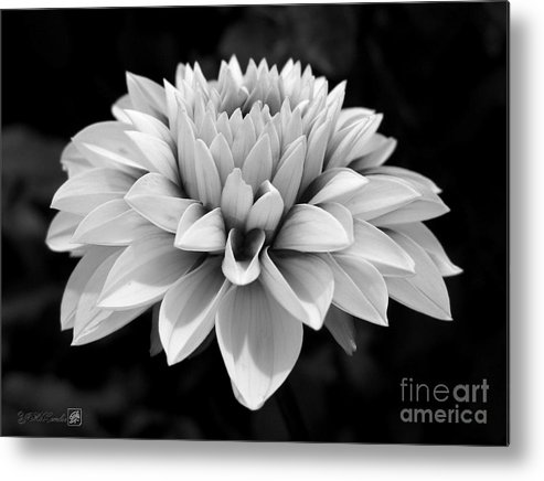 Dahlia Metal Print featuring the photograph Dahlia Named Brian Ray by J McCombie