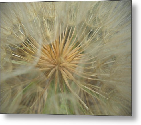 Flower Metal Print featuring the photograph Desert Dandelion 4 by Isabella McClellan