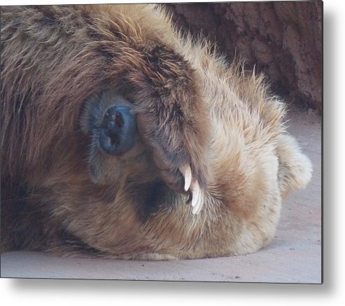 Grizzly Metal Print featuring the photograph Do Not Disturb by Virginia Kay White