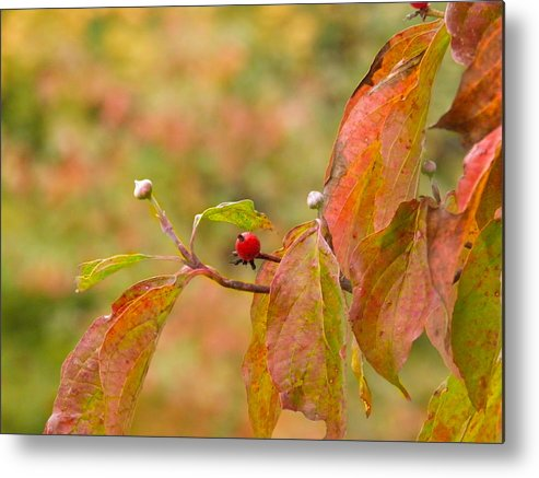 Berry Metal Print featuring the photograph Dogwood Berrie by Nick Kirby