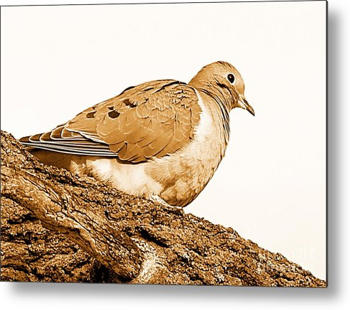 Irfancollection Metal Print featuring the photograph Dove by Irfan Gillani