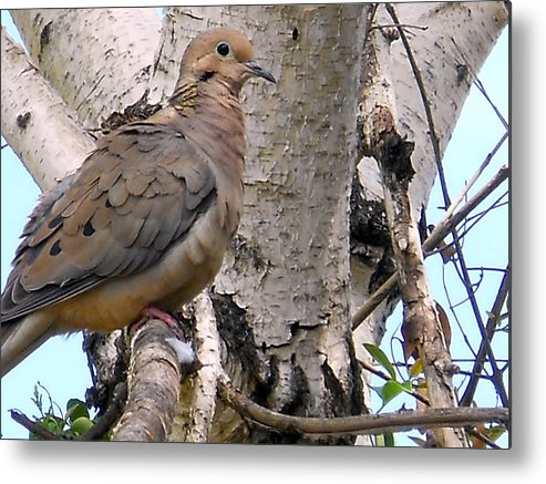 Dove Metal Print featuring the photograph Dove On A Tree by Eric Forster