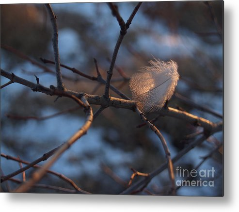 Branch Metal Print featuring the photograph Downy Feather Backlit On Wintry Branch At Twilight by Anna Lisa Yoder