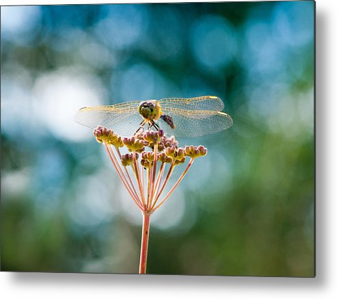 Turquoise Metal Print featuring the photograph Dragonfly Delight by Heather Simonds