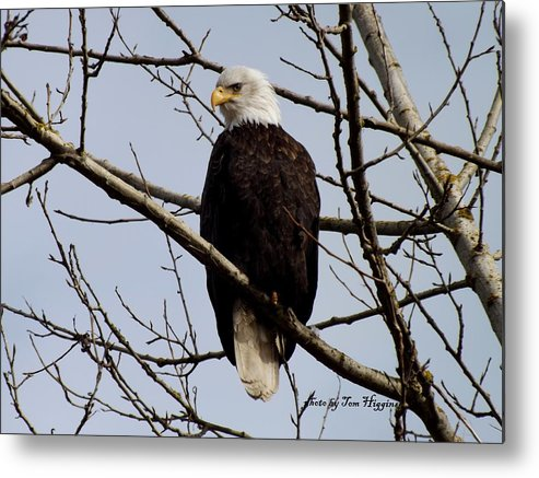 Bald Eagle In Tree Metal Print featuring the photograph Eagle by Thomas Higgins