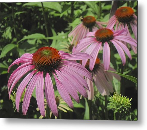 Cone Flower Metal Print featuring the photograph Echinachea by Marjorie Tietjen