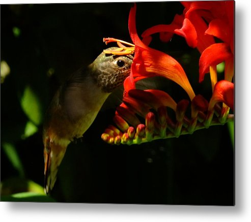 Female Rufous Hummingbird. Metal Print featuring the photograph End Of Summer. by Will LaVigne