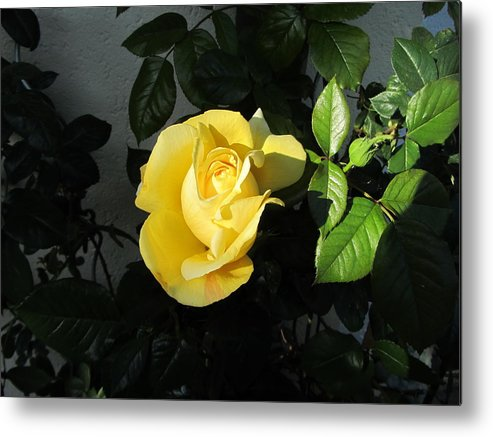 Yellow Rose Metal Print featuring the photograph Evening Sun by Helmut Rottler