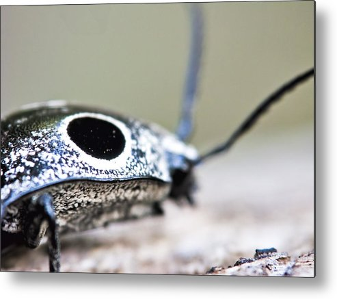 Beetle Metal Print featuring the photograph Eyed Click Beetle by Francis Sullivan