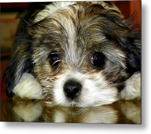 Puppies Metal Print featuring the photograph Eyes On You by Karen Wiles