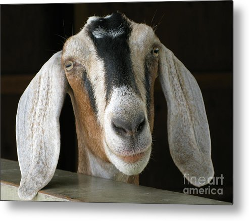 Goat Metal Print featuring the photograph Farm Favorite by Ann Horn