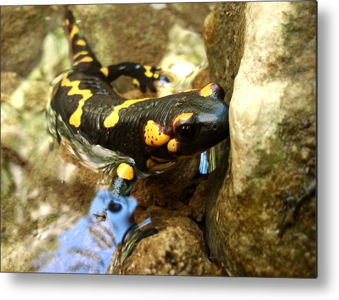 Animals Metal Print featuring the photograph Fire Salamander by Lucy D