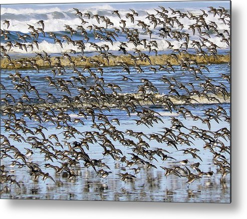 Sandpipers Metal Print featuring the photograph Flight Of The Pipers by Pamela Patch