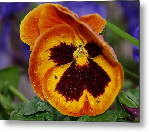 Orange Colorful Flower After The Rain Metal Print featuring the photograph Flower After The Rain by Steven Selig
