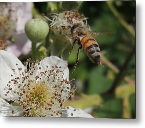 Bee Metal Print featuring the photograph Flying In by Lucy Howard