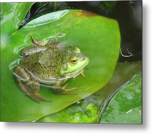 Frog Metal Print featuring the photograph Frog On Lily Pad Photo by Sharon Farber