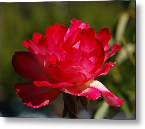 Floral Metal Print featuring the photograph Fuchsia by Suzanne Gaff