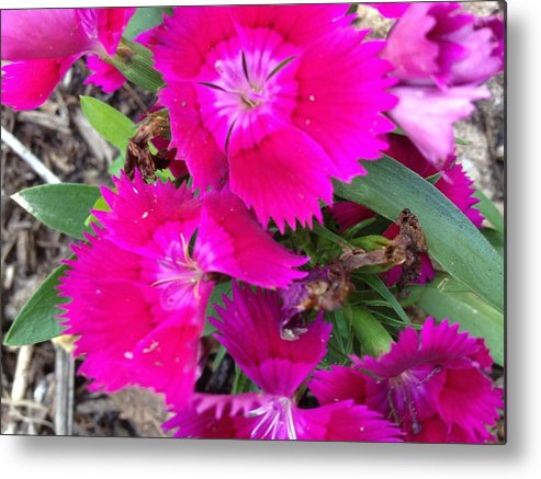 Metal Print featuring the photograph Fushia by Courtney Miles
