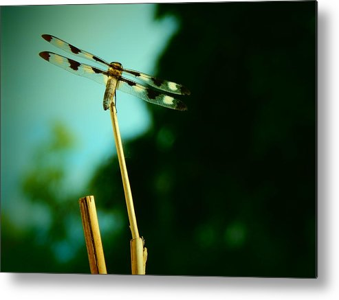 Dragonfly Metal Print featuring the photograph Garden Visitor by Laura Elder