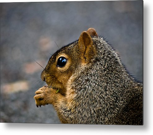 Squirrel Metal Print featuring the photograph Getting Ready For Winter by Ryan Brady-Toomey