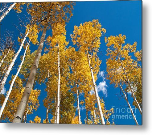 Landscape Metal Print featuring the photograph Golden Aspen Stand by Alex Cassels