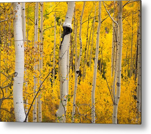Aspen Metal Print featuring the photograph Golden Forest by Aaron Spong